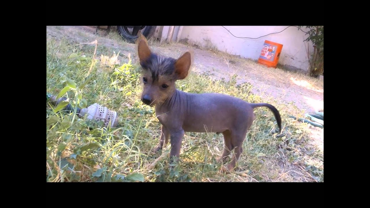 Lil Monsters Tiny Teacup Hairless Puppies Youtube