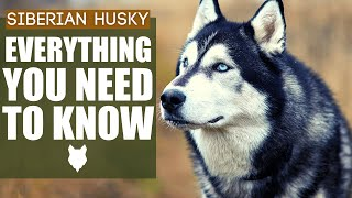 Siberian Husky 101! Everything You NEED TO KNOW About The Siberian Husky!