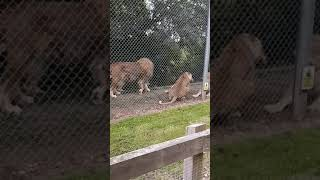 Download Video lions fight at the zoo MP3 3GP MP4
