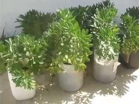 Mis primeras habas en macetas youtube for Huerta de aromaticas en macetas