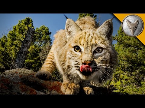 Thumbnail: The Bobcat is One Spring Loaded Predator!