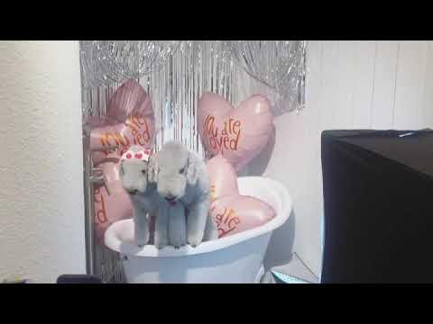 Bedlington terrier studio photoshoot😋