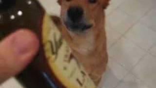 Cute German Shepherd Chow Chow Dog Tricks, Beer!
