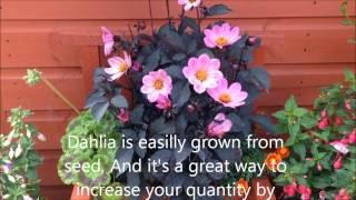 Dahlia happy days, in bloom Help care propagation