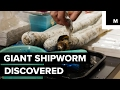 Giant worm monster discovered in the Philippines