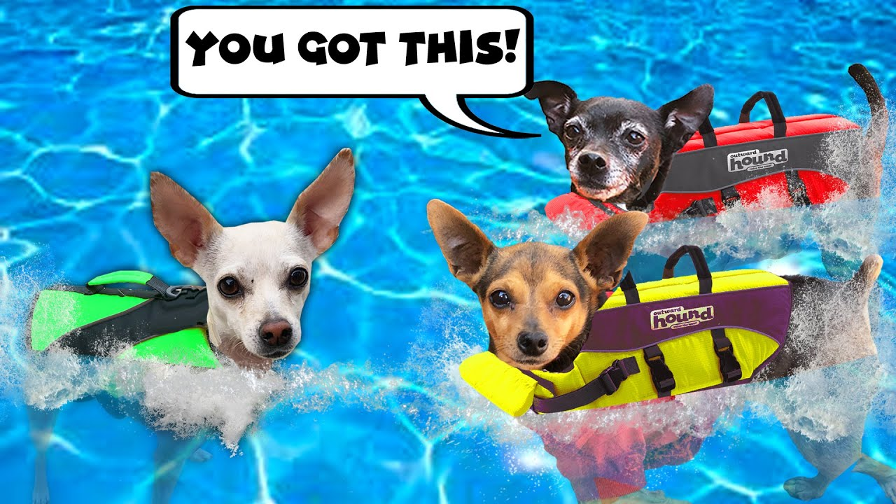 Giving our Dogs Crush Swimming Lessons for the First Time - Pawzam Dogs