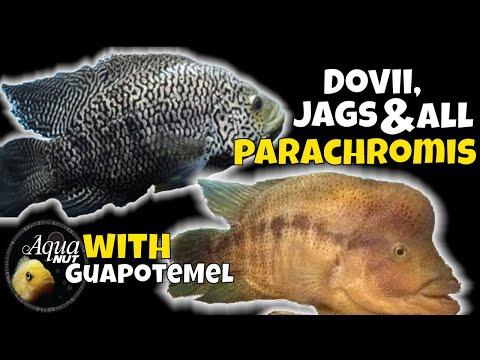 Dovii Wolf Cichlid, JaguarJag Cichlid & ALL Parachromis Care 🐟 Meanest Cichlids