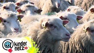 Wie viel Arbeit macht eine Schafherde? | OLI's Wilde Welt | SWR Kindernetz