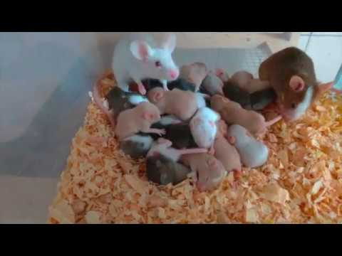 Rodent Breeding (mouse And Rat)
