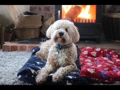 Ted - 16 Month Old Tibetan Terrier - 4 Weeks Residential Dog Training