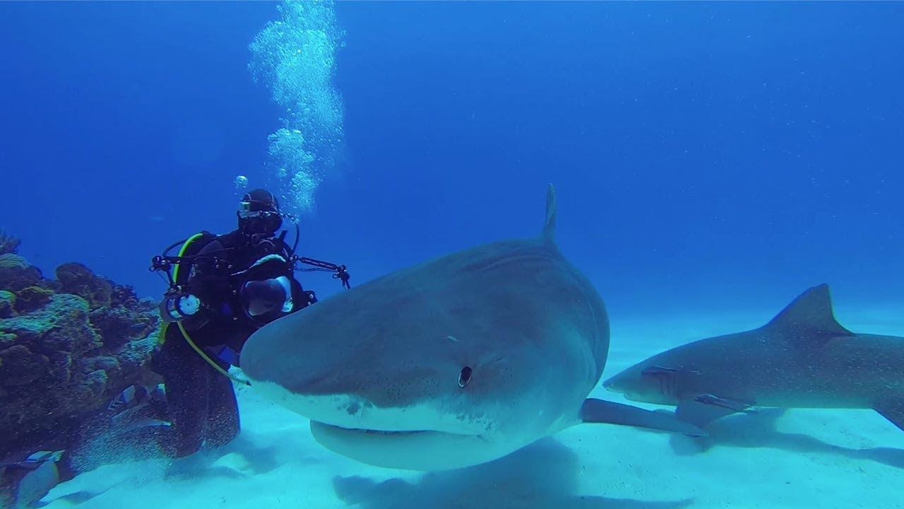 צוללנים משחקים עם כרישים במעמקי הים