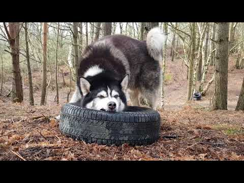 dog-uses-tire-for-toys-|-big-and-tough