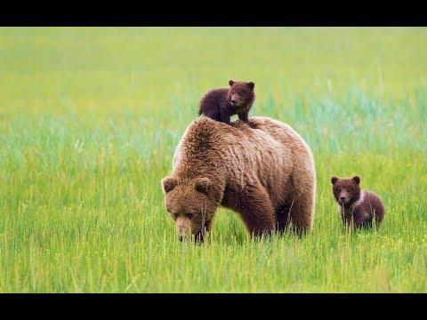 Сколько в России медведей? Поголовье диких животных