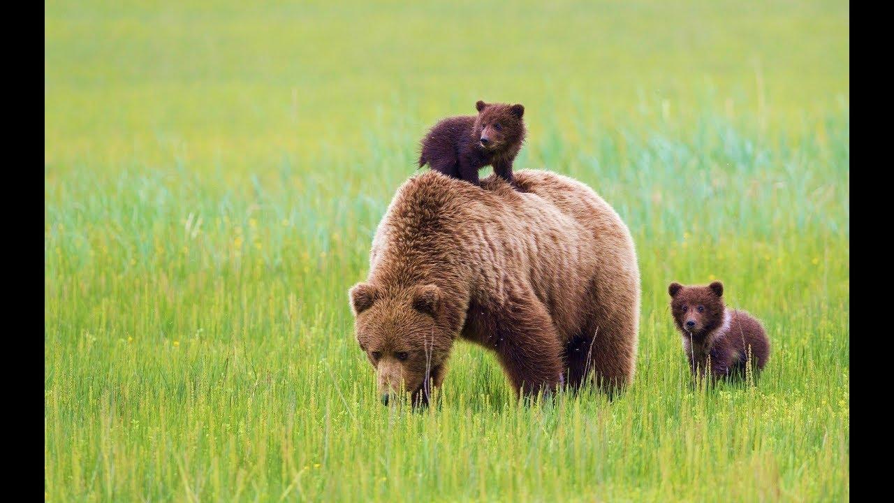 количество медведей в россии