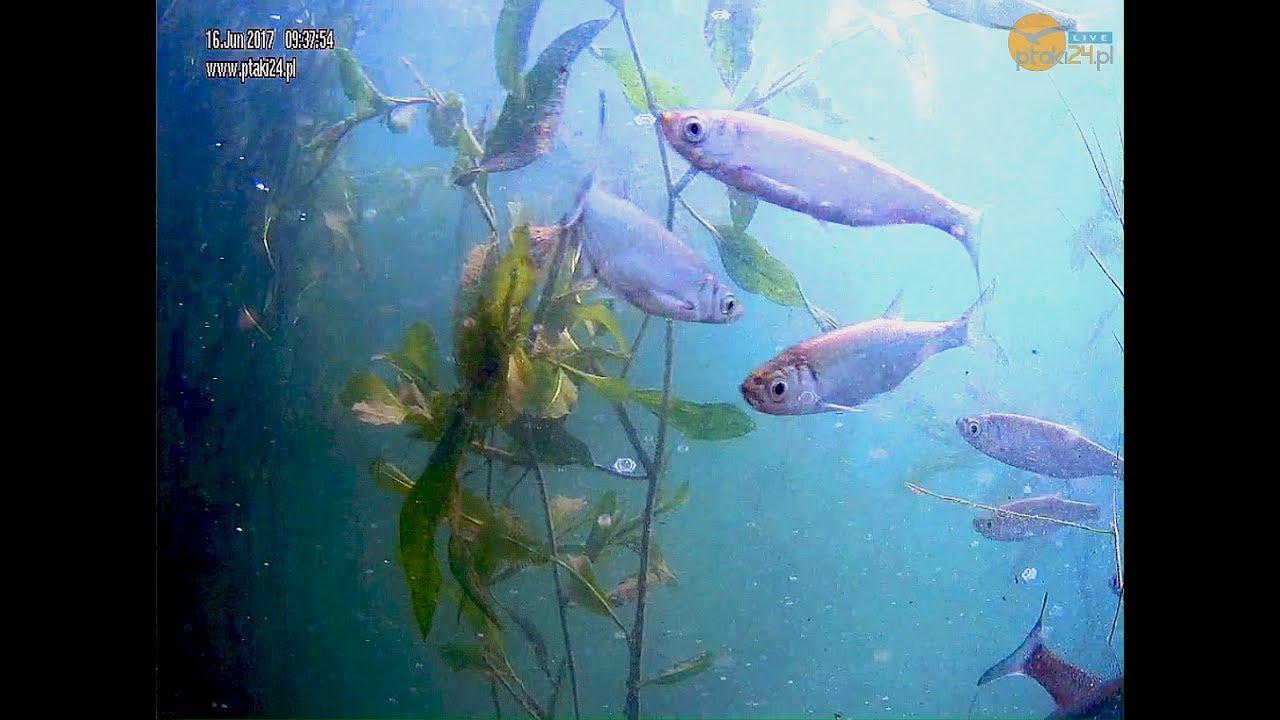 Podwodny świat ryb w Jeziorze Solińskim w Bieszczadach