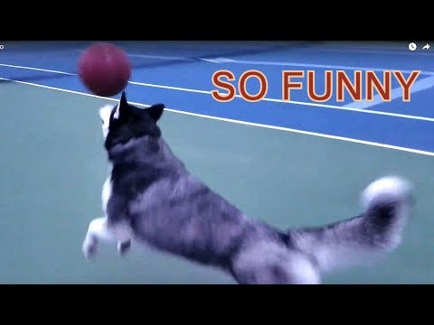 Cute Siberian Husky Max Named Best Basketball Player for Dog