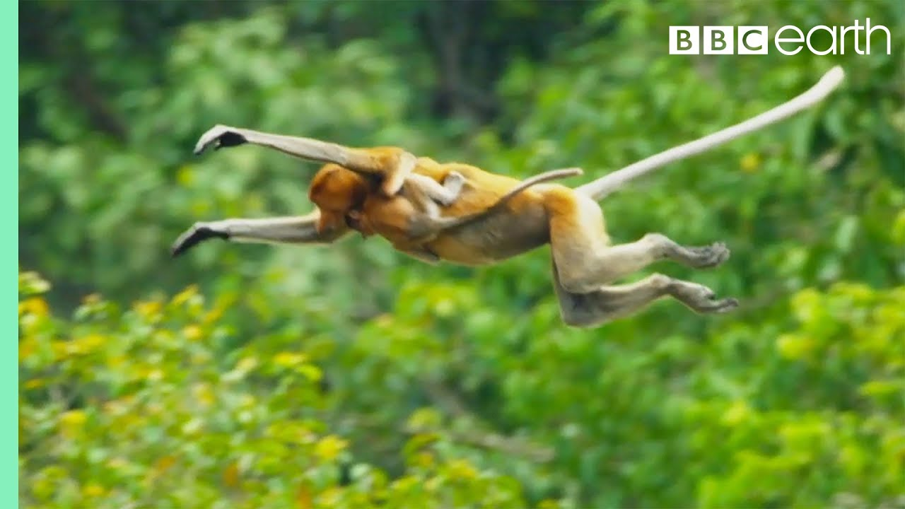 Download Proboscis Monkeys Leap Into Crocodile-Infested River | BBC Earth