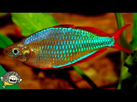 THE ULTIMATE RAINBOWFISH COLLECTION - FISH ROOM