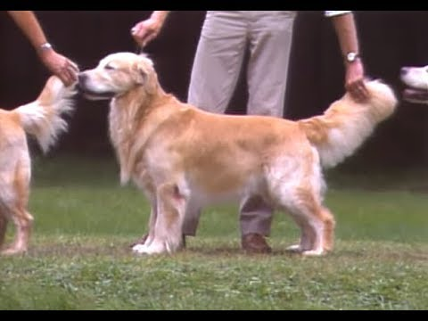 Golden Retriever - AKC Dog breed series
