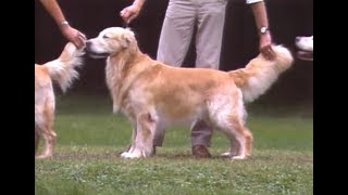 Golden Retriever - ゴールデン・レトリバー - AKC Dog breed series.