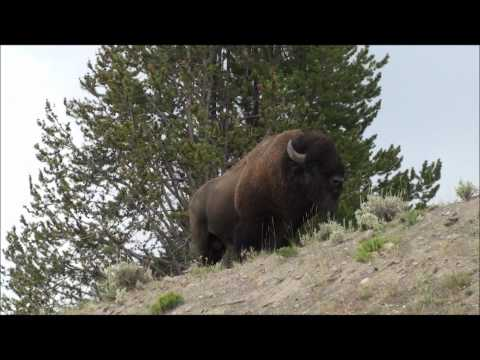 Yellowstone Bison Herd Crossing Crowded Highway