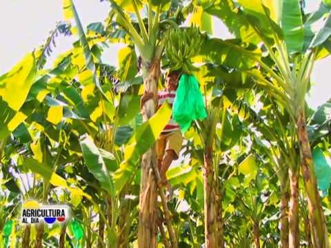 Agricultura al d a semillas de platano youtube for Como se planta la lavanda