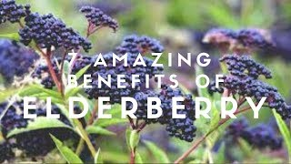 7 Amazing Benefits Of Elderberry