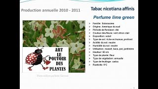 Tabac nicotiana affinis Perfume lime green: plante annuelle