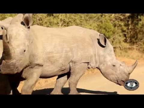 Rhinoceros (Black & White Rhino) Facts, Information & Video