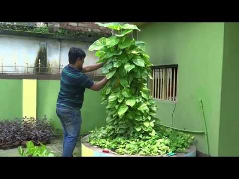 The Money Plant is Most Lucky Tree # Bangla