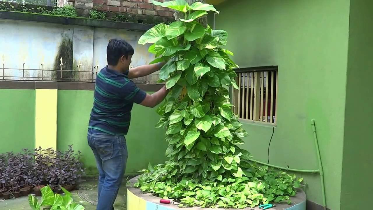 Image result for mani plant