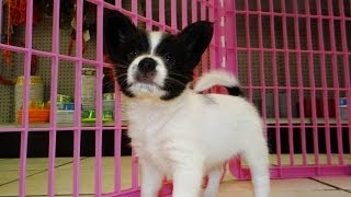 Papillon, Puppies, For, Sale, In, Denver, Colorado, Co, Fort Carson, Black Forest, Welby, Greenwood
