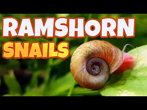 Ramshorn Snails - Breed Them Or Kill Them?