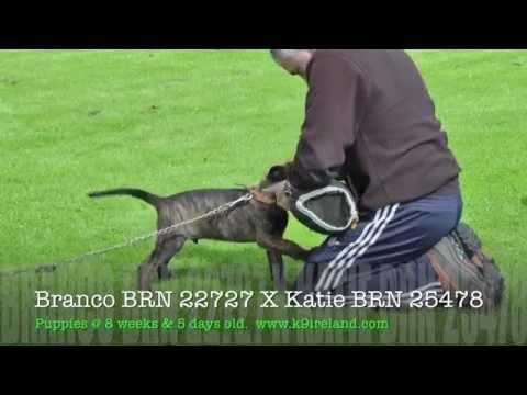 Puppies,Branco BRN 22727 X Katie BRN 25478 🇮🇪