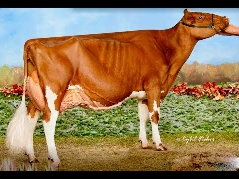 Royal Winter Fair Toronto.Mature Red & White Holstein Cow Class.Meadow Green Absolute Fanny EX95