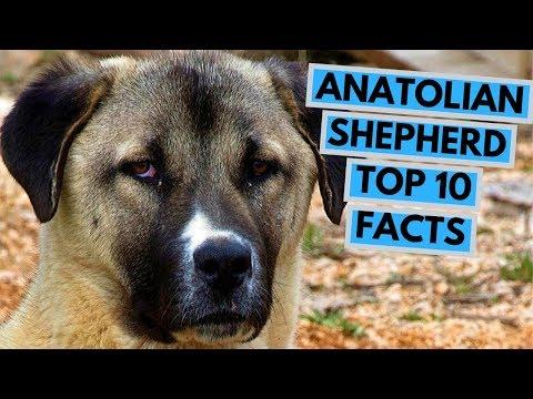 Anatolian Shepherd Dog - TOP 10 Interesting Facts