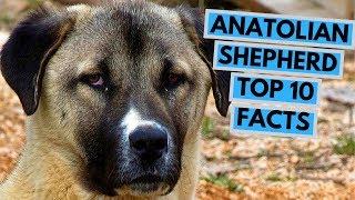 Anatolian Shepherd Dog  TOP 10 Interesting Facts