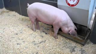 Свиньи.  Обзорное видео  Золотая Осень 2010