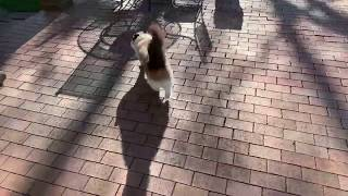 Ragdoll Cats Charlie and Trigg Outside: Vlogging LIVE Day 7