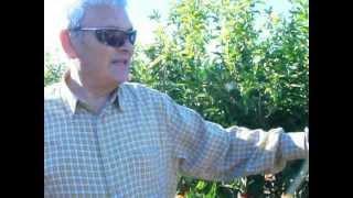 mandarina clemenules no es rentable para el agricultor citricos mandarino citrus reticulata