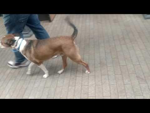 Porter an Australian Cattle Dog mix during his 3 week training.