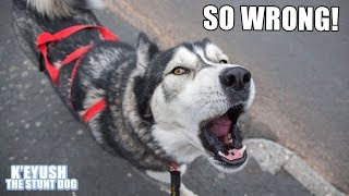 husky-argues-with-weather-forecaster-about-rain-and-moans-on-his-walk