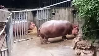 Hippopotamus  SHANGHAI ZOO CHINA tourism