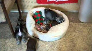 6 Week Old Toy And Mini Schnauzer Puppies
