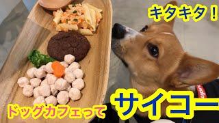 【コーギー初めて】コナンドッグカフェ初体験! こぎちゅーばーコナン CONAN's HAPPY DAYs