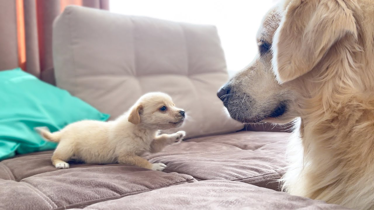 Golden Retriever Confused by new Puppy