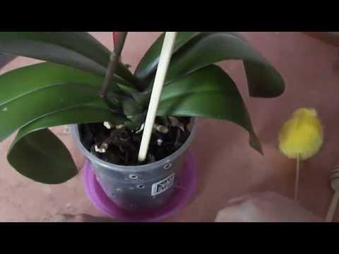 Когда поливать орхидею. Как определить высох ли субстрат When watering orchids