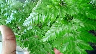 Tipos de Samambaias Rendas - Kind of ferns Lace