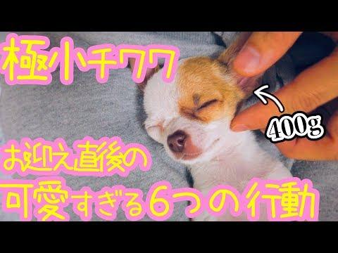 🐶400gの極小子犬チワワ、お迎え直後に見せたかわいい6つの行動