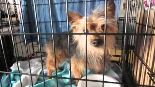 Yorkshire Terrier. Senior. Dog For Adoption At The Bcprf.